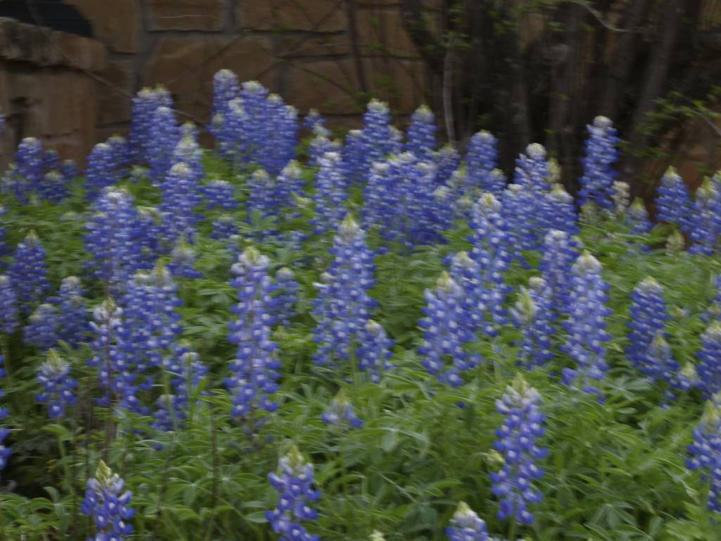 Texas Hill Country:  2012 Bluebonnets