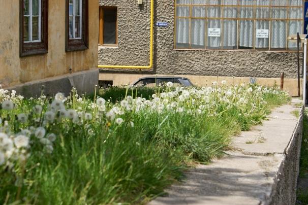 Brasov: Dandilions Along a Sidewalk